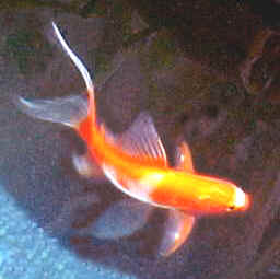 Pond gold fish for What fish can live with goldfish in a pond