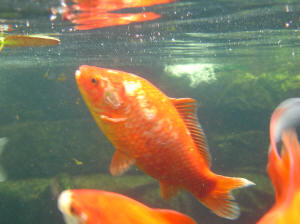 Pond gold fish for Koi reproduction